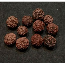 Rudraksha Seed from India