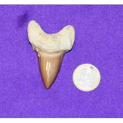 Δοντι Καρχαρία Απολίθωμα