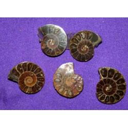 Ammonite Fossil Cabochon