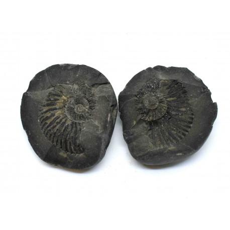 Fossil Ammonite Shaligram