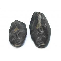 Fossil Gastropod Shaligram